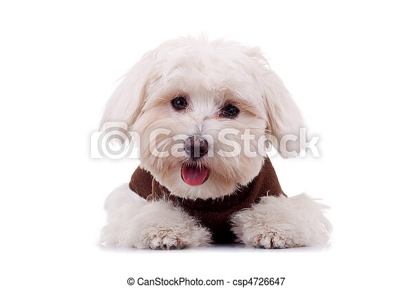 Bichon puppy with clothes - csp4726647