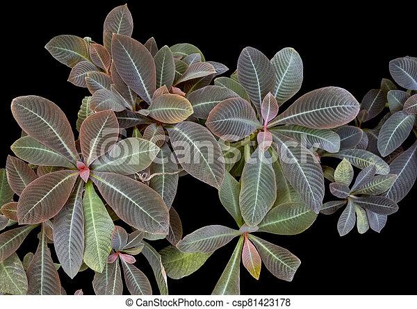 bicolor, venoso, planta - csp81423178