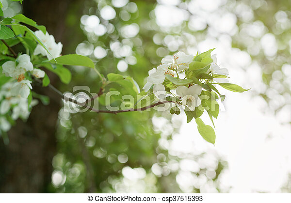 Big apple tree in bloom white flowers shallow focus big apple tree in bloom white flowers csp37515393 mightylinksfo