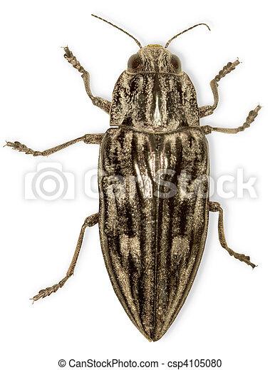 Big black bug isolated on white - csp4105080