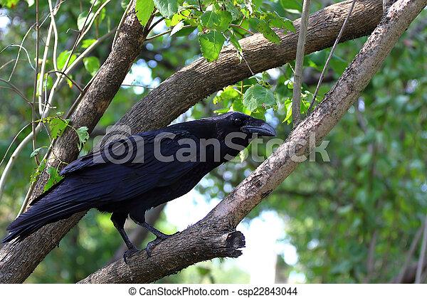Big black raven - csp22843044