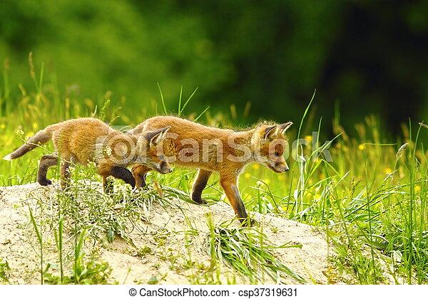 big brother fox - csp37319631