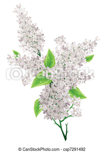 Big bunch of white lilac with leaves isolated - csp7291492
