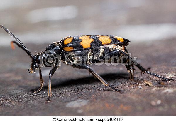 Big burying beetles is sitting on a tree stump. Nicrophorus vespillo. - csp65482410