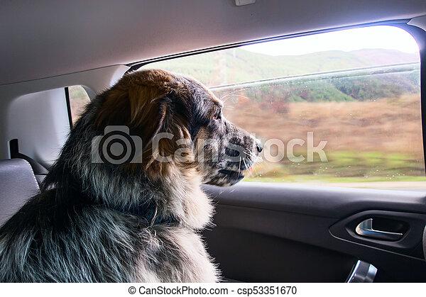 Big dog travelling in a car - csp53351670