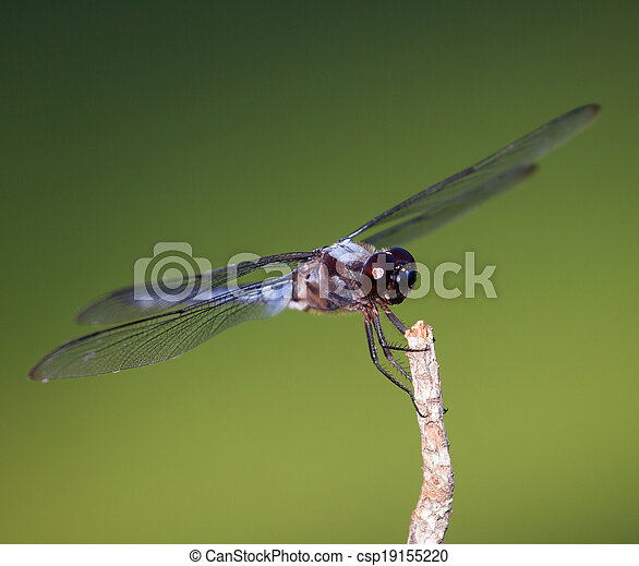 Big dragonfly - csp19155220