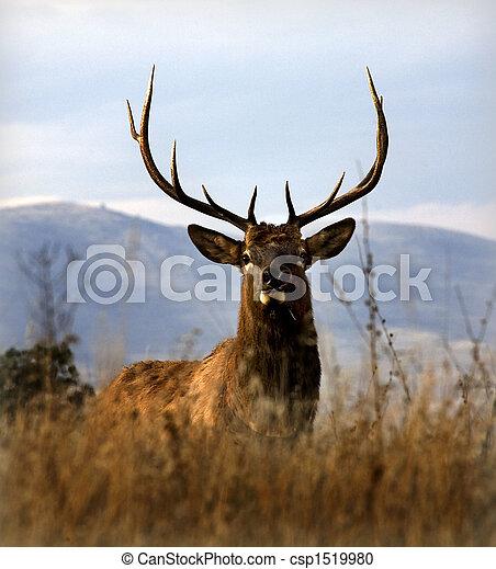 Big Elk With Large Rack of Horns National Bison Range Charlo Mon - csp1519980