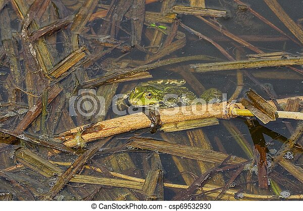 big green frog sits in the water of a pond among brown algae - csp69532930