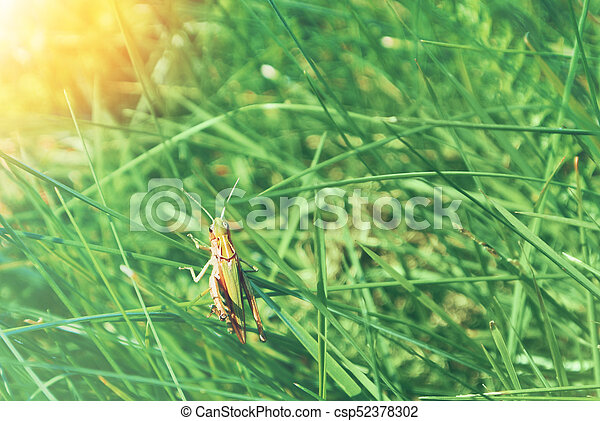 Big green grasshopper sitting on a blade of grass in beautiful sunlight  macro close-up background with blurred green soft focus artistic leaf  texture