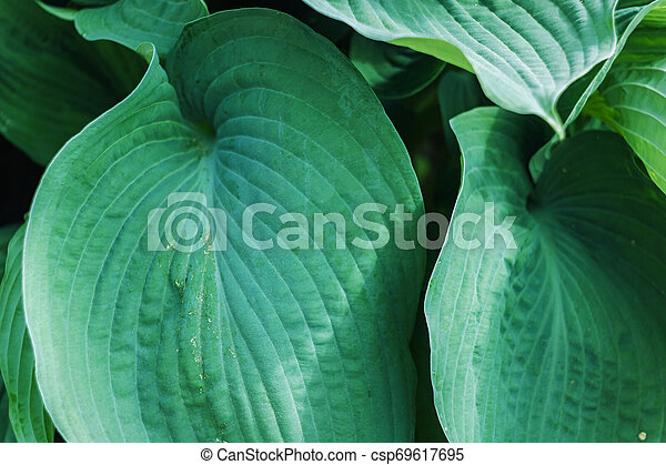 Big Green Leaves Of A Tropical Plant Background Or Texture