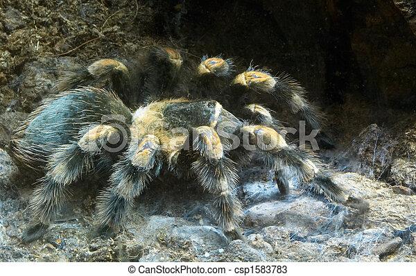 big hairy spider - csp1583783