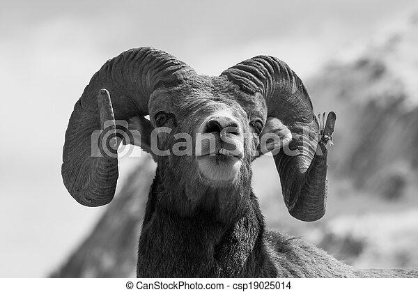 Big Horn Sheep headshot Portrait - csp19025014