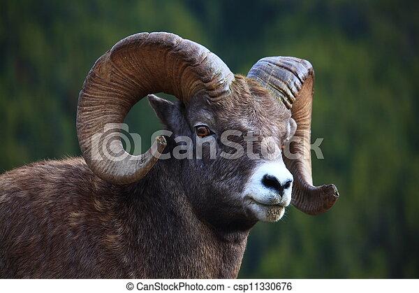 big horn sheep - csp11330676