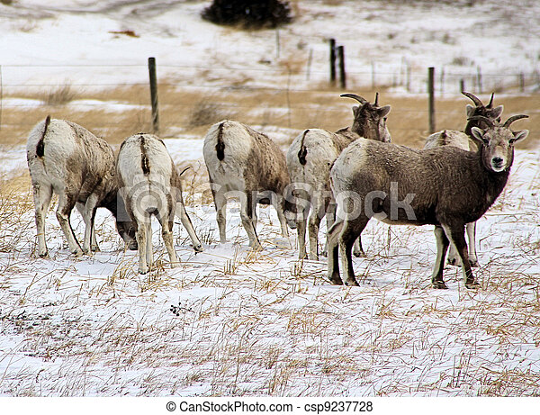 Big Horn Sheep - csp9237728