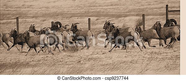 Big Horn Sheep - csp9237744