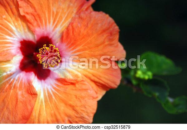 Big Island Bloom - csp32515879