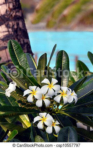 Big Island Plumeria - csp10557797