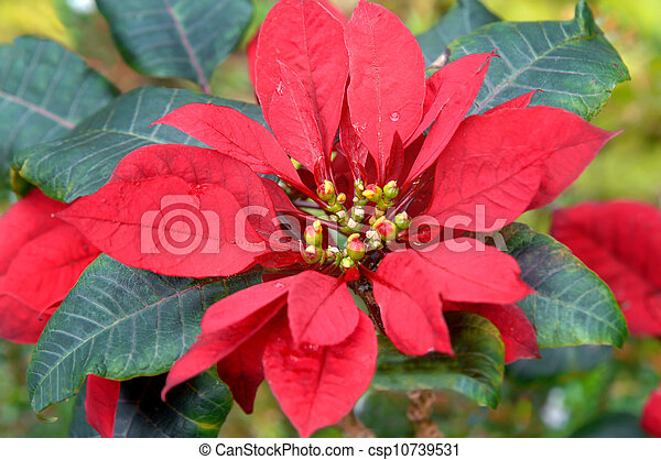 Big Island Poinsettia - csp10739531