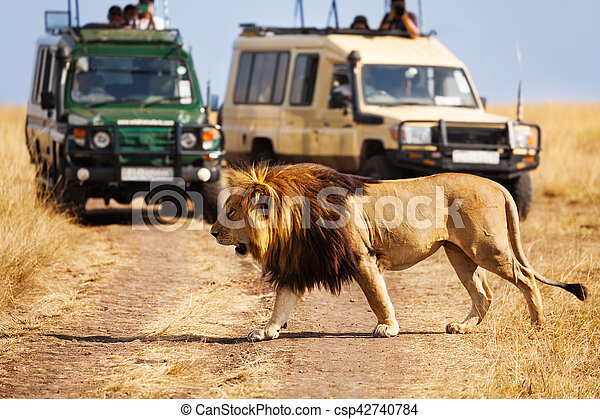 Big lion crossing the road at African savannah - csp42740784
