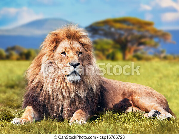 Big lion lying on savannah grass - csp16786728