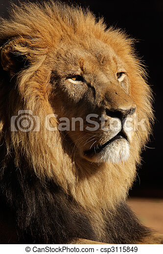 Big male African lion - csp3115849