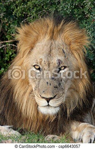 Big Male Lion - csp6643057