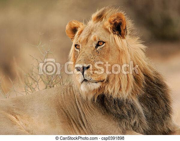 Big male lion - csp0391898