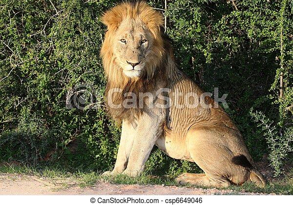 Big Male Lion - csp6649046