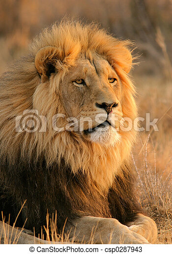Big male lion - csp0287943