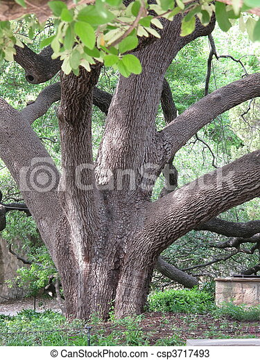 Big Old Tree with Twisted Branches - csp3717493