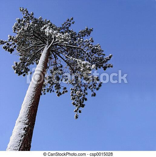 Big pine tree - csp0015028