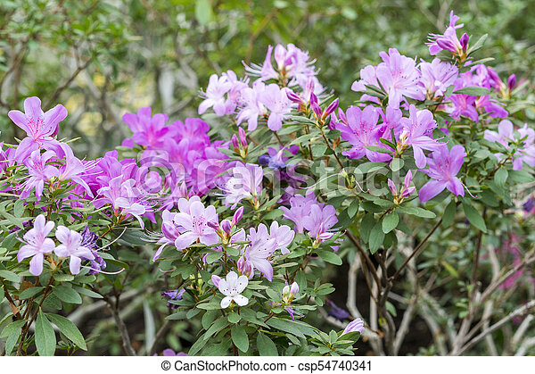 Big pink azalea bush in the garden season of flowering azaleas mightylinksfo