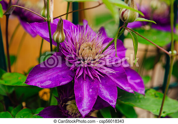 Big purple flowers named clematis or president flower after stock big purple flowers named clematis or president flower after rain csp56018343 mightylinksfo