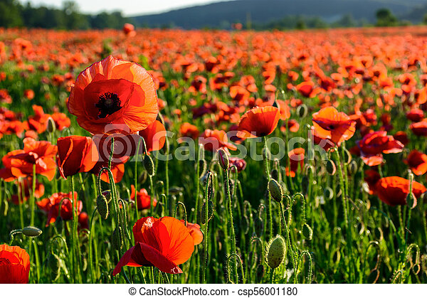 big red poppy flower on the field in mountains