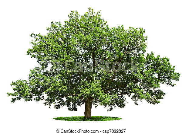 Big tree - oak isolated on a white - csp7832827