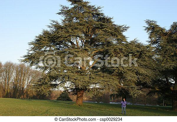 big tree small woman - csp0029234