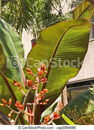 Big Tropical Leaves This Is A Shot Of Some Tropical Plants With Very Large Leaves Canstock Can be trimmed into a hedge or border if desired. https www canstockphoto com big tropical leaves 0084666 html