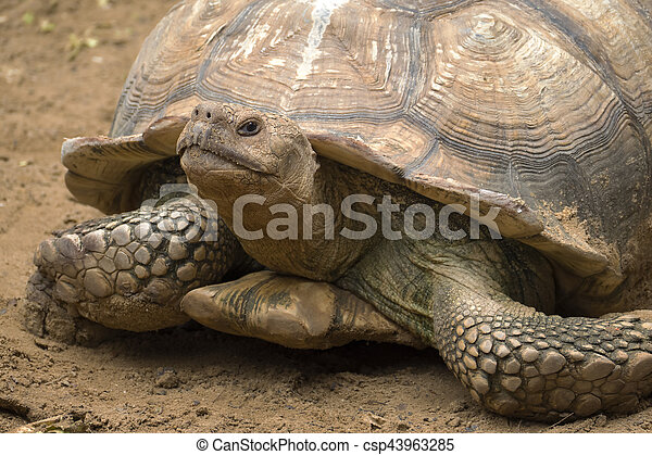 big turtle portrait - csp43963285