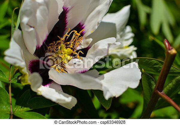 Big White Flower Of Tree Peony Closeup Big White And Purple Flower