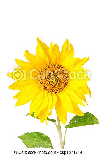 Big yellow sunflowers isolated on white background - csp18717141