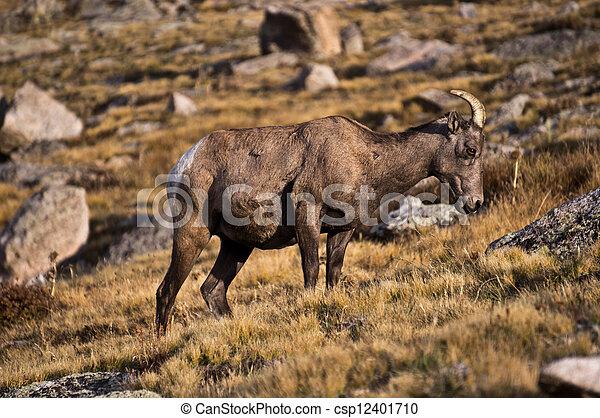 Bighorn Ewe - csp12401710