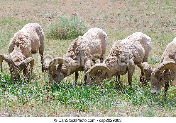 Bighorn Sheep Grazing - csp2029803