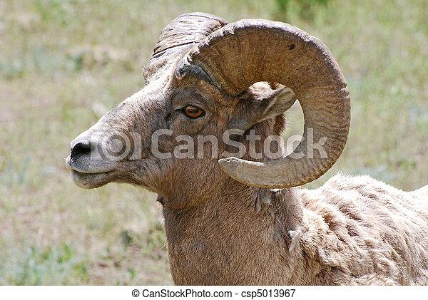 Bighorn Sheep - csp5013967