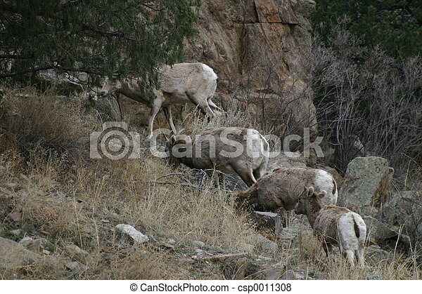 Bighorn Sheep - csp0011308