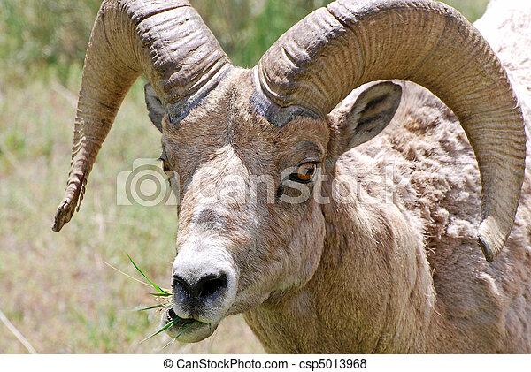 Bighorn Sheep - csp5013968