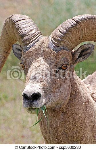 Bighorn Sheep - csp5638230