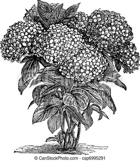 Bigleaf Hydrangea or Hydrangea macrophylla vintage engraving - csp6995291