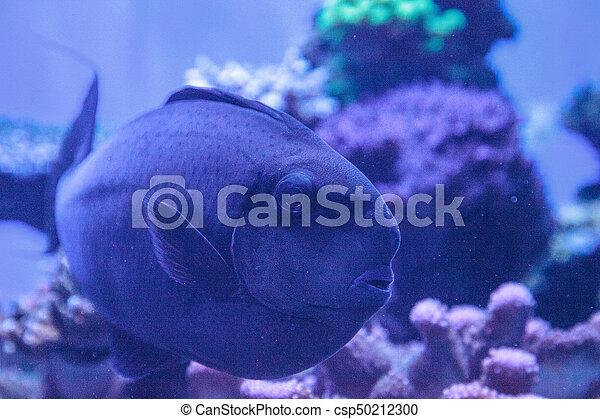 Bignose Unicornfish Known As Naso Vlamingii In A Coral Reef