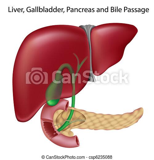 Bile Passgesnon Labeled Version Liver Gallbladder Vector