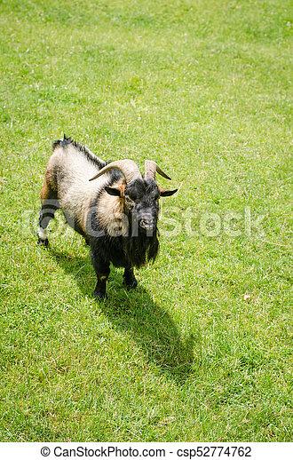 billy-goat animal - csp52774762